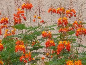 yellow bird of paradise tjs garden