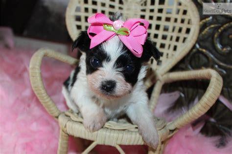 yorkie puppies for sale in inland empire delia yorkiepoo yorkie poo puppy for sale near inland empire california 645a54a4