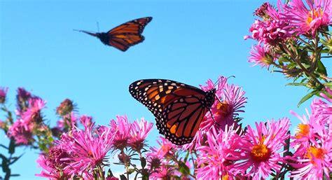 imagenes flores mariposas imagenes de mariposas