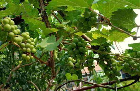 Bibit Eboni 12 tips budidaya menanam anggur dari biji stek batang
