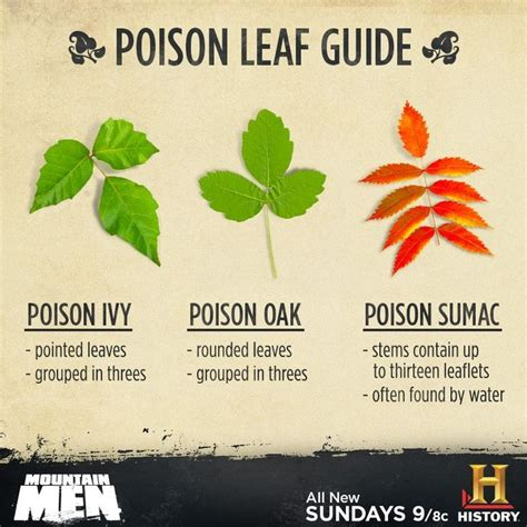 identify poison ivy leaves identification of poison ivy poison oak and poison sumac