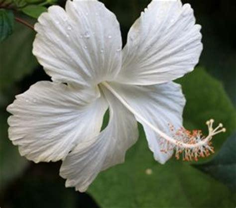 hibiscus putih tumpuk 20 40cm kembang sepatu putih hibiscos