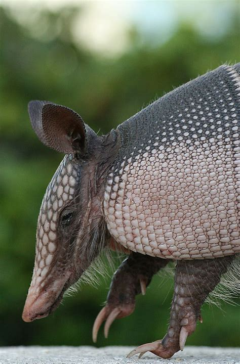 images  armadillo pangolin  pinterest ants argentina  mother  baby