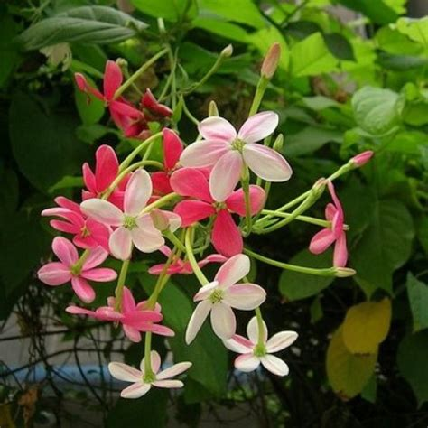pink flowering climbing plants the rangoon creeper a beautiful blooming vine flowering