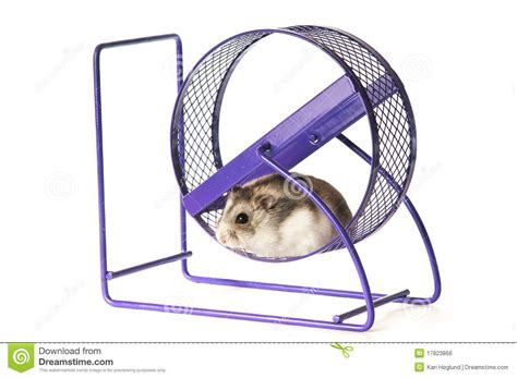 Wheels Exercise X8 Kincir Hamster Mencit hamster in a hamster wheel royalty free stock image image 17823866