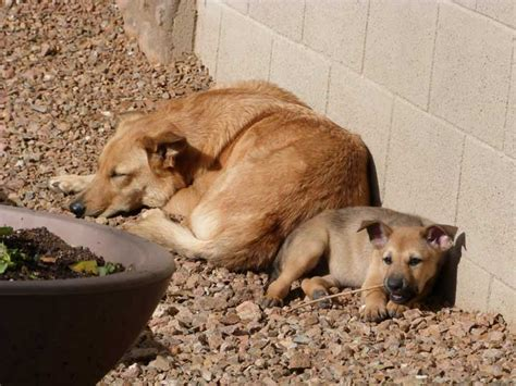 chinook puppies for sale chinook puppies sun god litter week 8