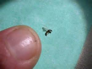 Small Indoor Flying Insects Ants Insect Id