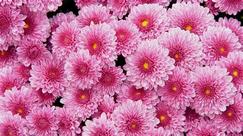 flower background chrysanthemum hd wallpapers