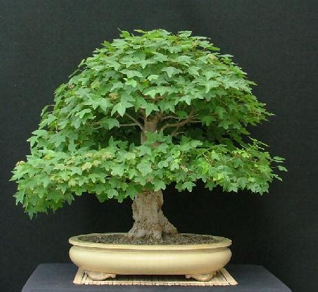 Ginkgo Biloba Baum Kaufen 61 by The Of Bonsai Project Feature Gallery The Bonsai Of