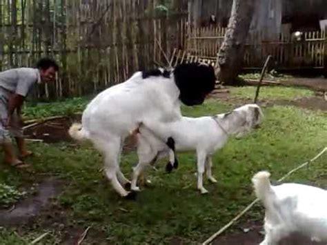 Jual Sho Kuda Di Bandung proses perkawinan kambing