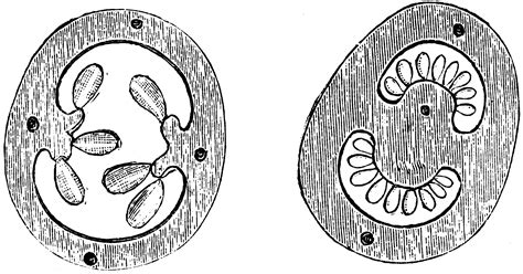 Flower Ovary Cross Section by Cross Section Of Ovary Of Flower Of Gooseberry And Potato