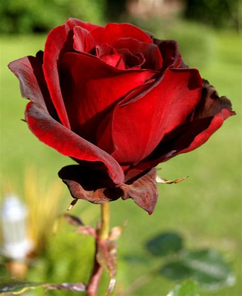 9 best mawar merah images on roses beautiful flowers and plants