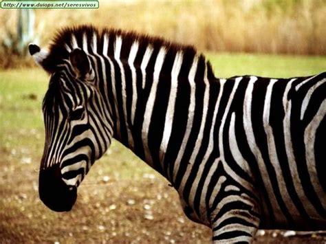 imagenes de uñas de cebra fotos de cebras