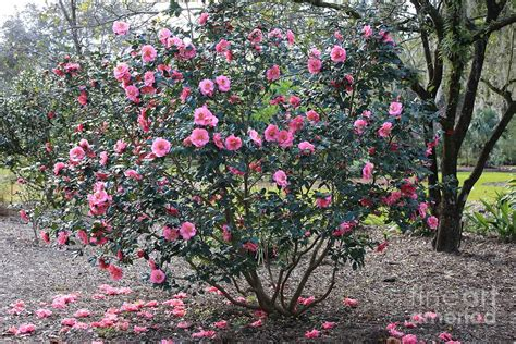 Tree Duvet Cover Pink Camellia Tree Photograph By Carol Groenen