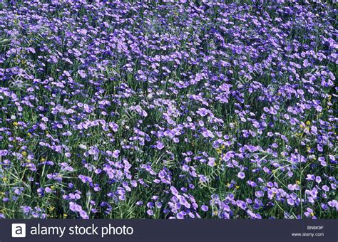 Blue Flower Crop linseed flax agricultural crop blue flower flowers crops stock photo royalty free image