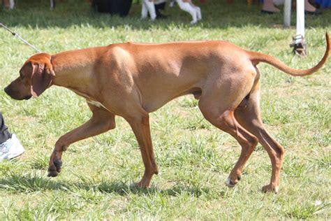 rhodesian ridgeback puppy cost rhodesian ridgeback breed information rhodesian ridgeback images rhodesian ridgeback
