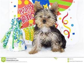 yorkshire terrier happy birthday party stock image image