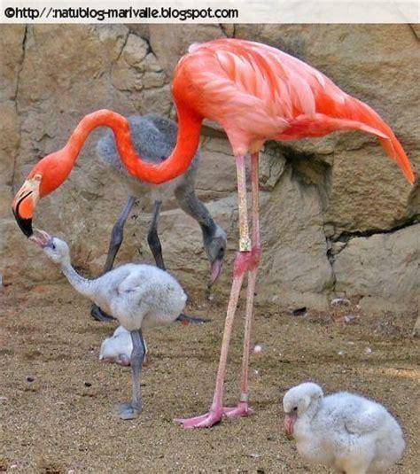 imagenes animal flamenco natublog 191 por qu 233 los flamencos son rosas