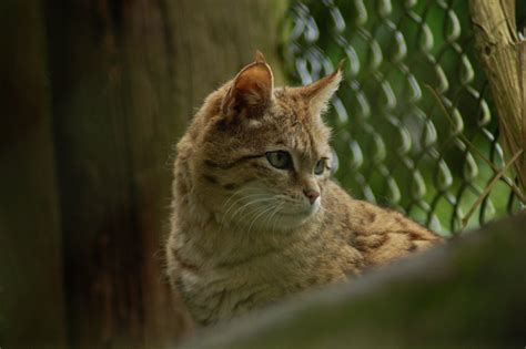 chat sylvestre felis silvestris page 1