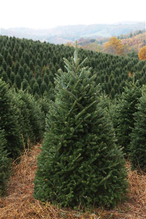 nc mountains tree farm nc mountain news nc trees offer quot choose and cut quot or orders