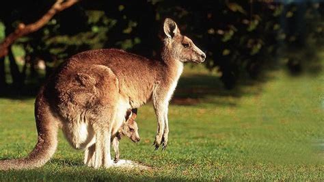 baby kangaroos hd wallpaper background images