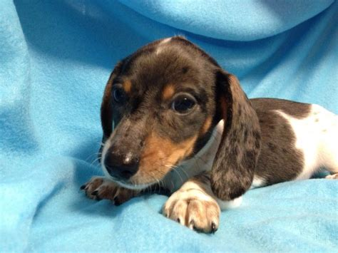 Do Miniature Dachshunds Shed by Piebald Dachshund Pictures Breeds Picture