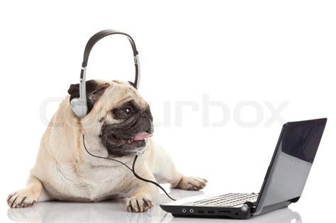 pug laptop pug gdog on looking at a laptop computer stock photo colourbox