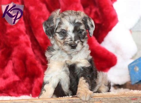 mini aussiedoodle puppies for sale 1000 ideas about mini puppies on mini aussie