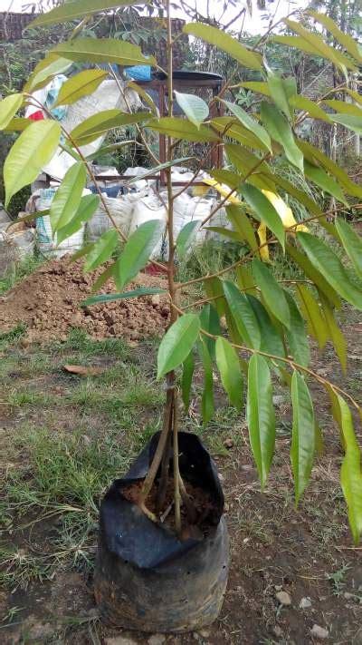 Bibit Durian Musang King Kaki 3 bibit durian musang king kaki empat 100 cm jualbenihmurah