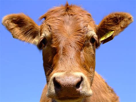 are you a cow philropost lyrics
