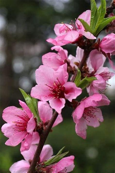 fiore di pesco la flora cinese e i suoi incantevoli giardini