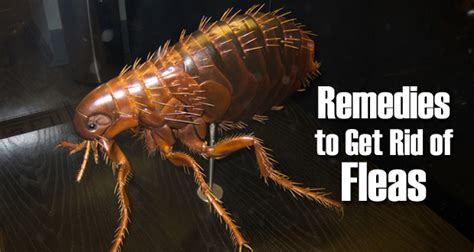 top 10 home remedies to get rid of fleas