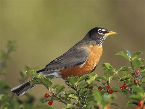 Robins O O wallpapers birds wallpapers free