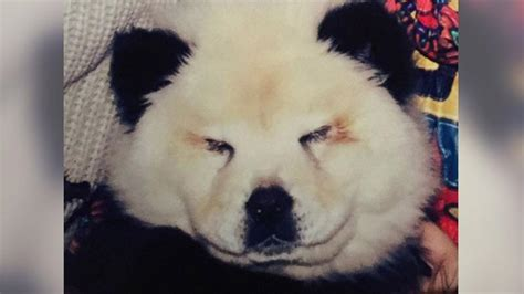 chow chow puppy panda chow chow panda www imgkid the image kid has it