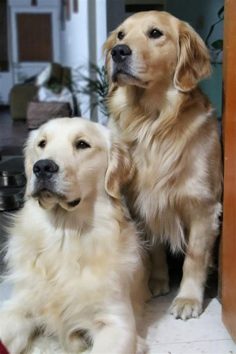 3 golden retrievers golden retrievers goldens 3