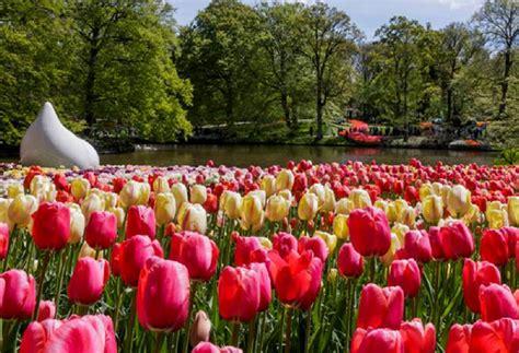 wallpaper bunga tulip di belanda taman bunga tulip belanda gambarbagus com