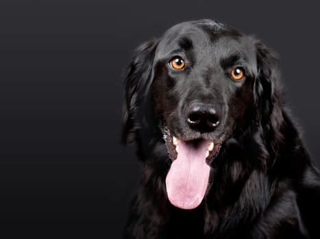 why do dogs get hiccups why dogs get hiccups some advice and tips dogalize