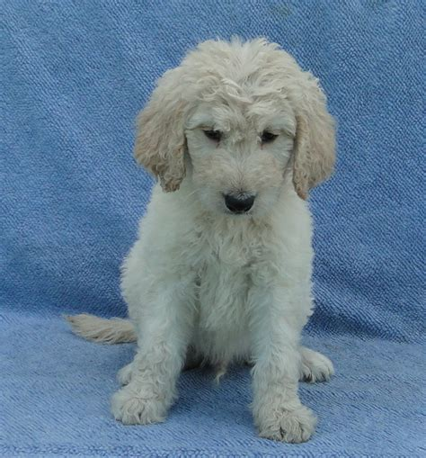 goldendoodle puppies for sale oklahoma goldendoodles breeds picture
