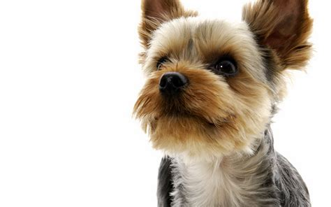 yorkie puppy pictures free terrier wallpapers and images wallpapers pictures photos