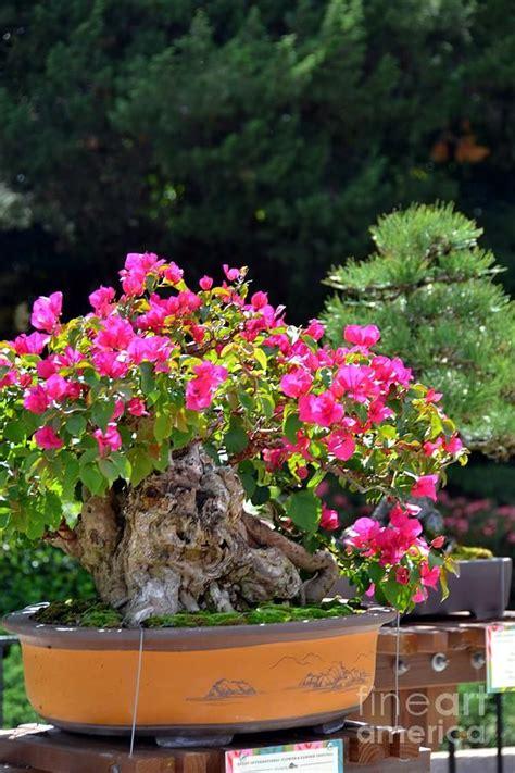 Bonsai Pink pink bonsai japan pavilion epcot quot the trees will clap their quot 1 tree photos
