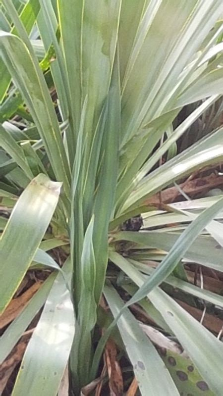 garten yucca umpflanzen yucca umpflanzen seite 1 yucca agaven palmenforum de