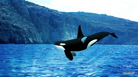 killer whale collection orca wallpapers orca wallpapers orca awesome photos