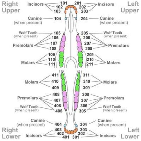 puppy teeth diagram human teeth vs cat dental charts