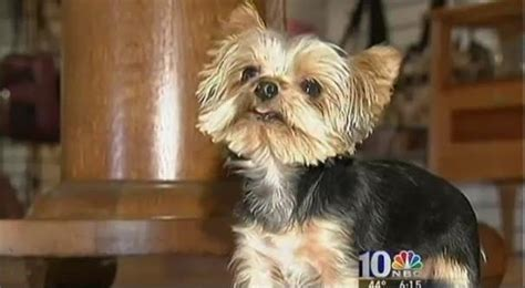 worlds smallest yorkie terrier 2 5 pounds is world s smallest working photo