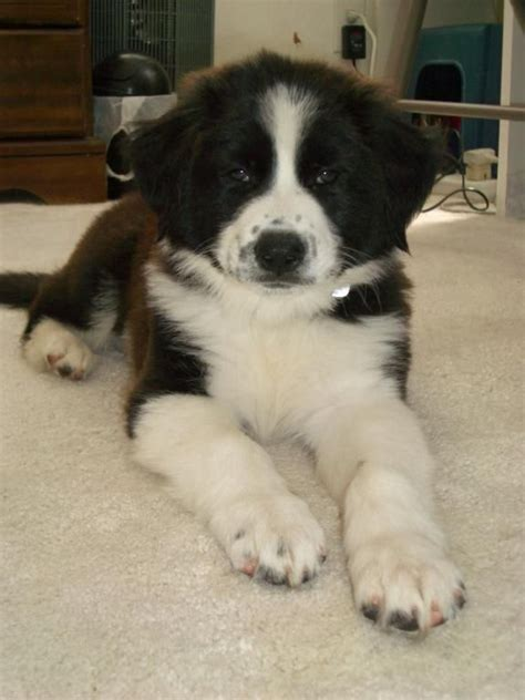bordernese puppies 17 best images about dogs on beautiful dogs puppys and burmese mountain dogs
