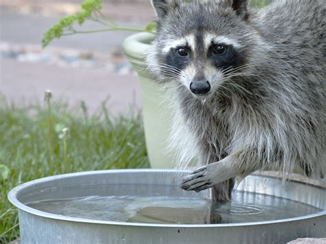 how to get rid of raccoons in my backyard how to get rid of raccoons in my backyard how to get rid