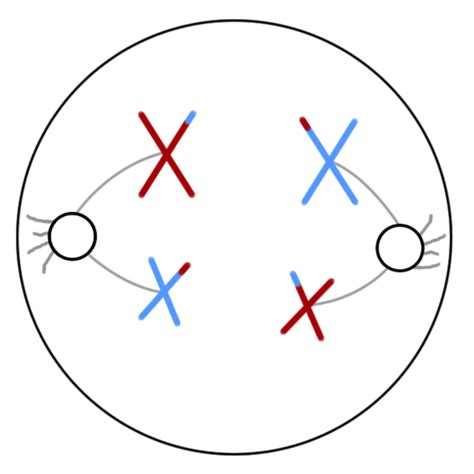diagram of anaphase mitosis and meiosis diagram with chromosomes mitosis get