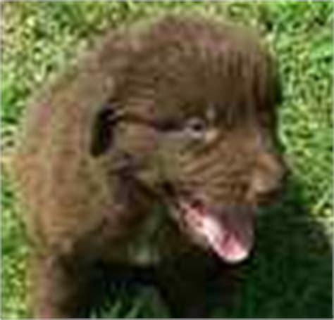 newfoundland puppies for sale in mi newfoundland puppies for sale newfoundland breeders