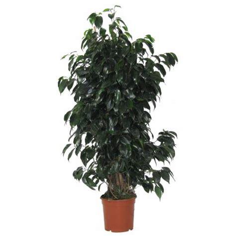 ficus planta interior ficus benjamina danielle c17 vente ficus benjamina