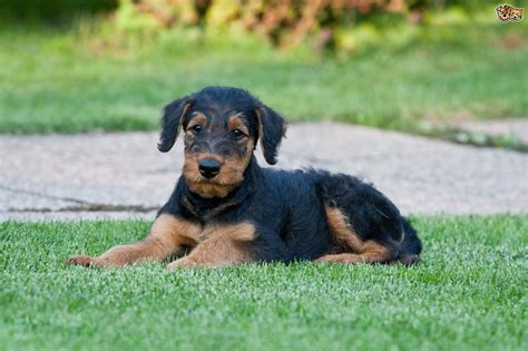 interesting facts   airedale terrier petshomes